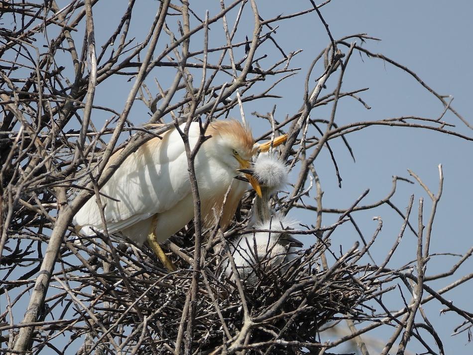 Más de 600 parejas garcillas han nidificado este verano en Marismas Blancas