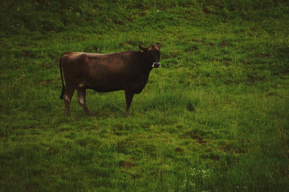 Investigan a un padre y su hijo por la muerte de las vacas y yeguas envenenadas en Villasuso
