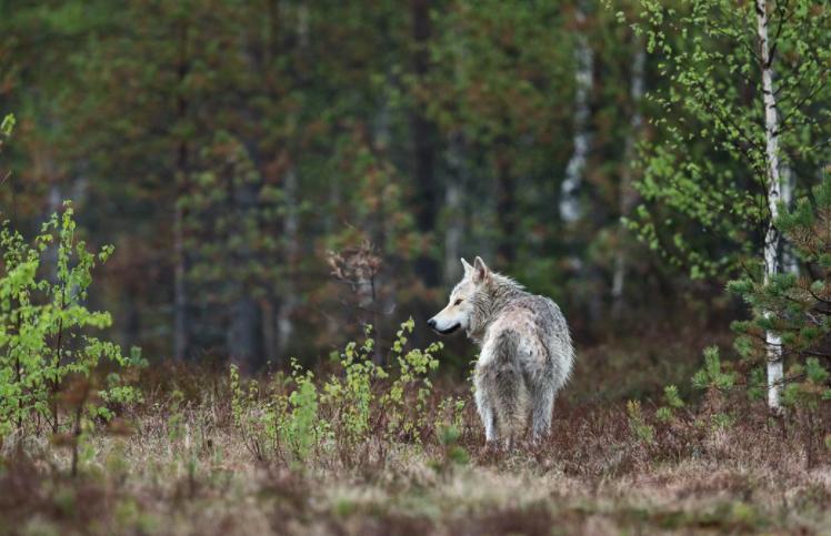 El Supremo sentencia que el lobo es especie protegida también en Cantabria