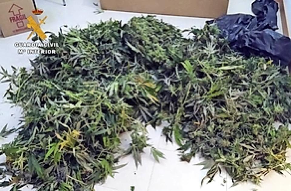 La Guardia Civil interviene  176 plantas de marihuana en Saro