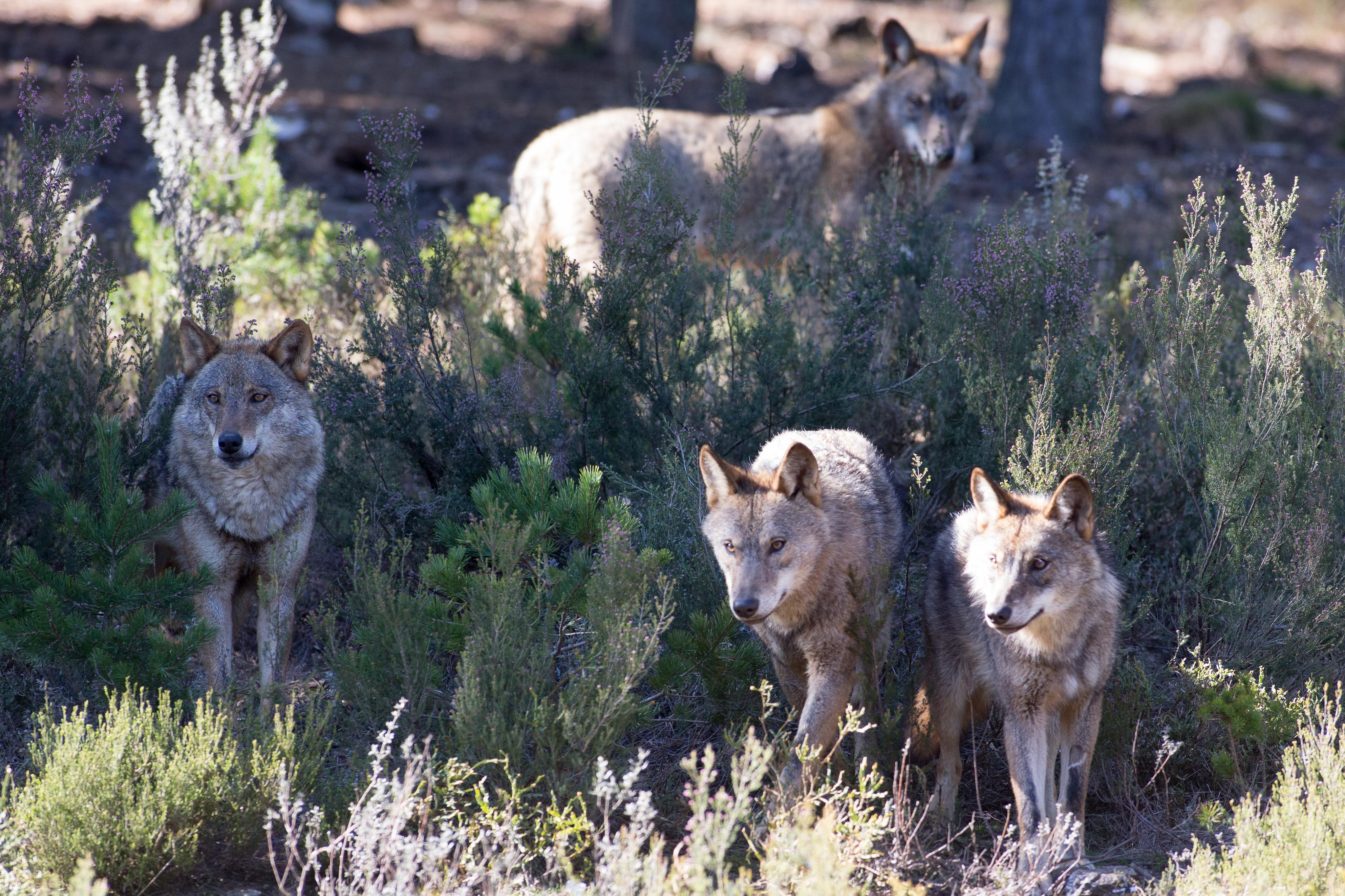 Cantabria, Galicia, Asturias y Cyl abordan hoy la protección del lobo con asociaciones agrarias